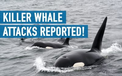 Killer whale attacks reported